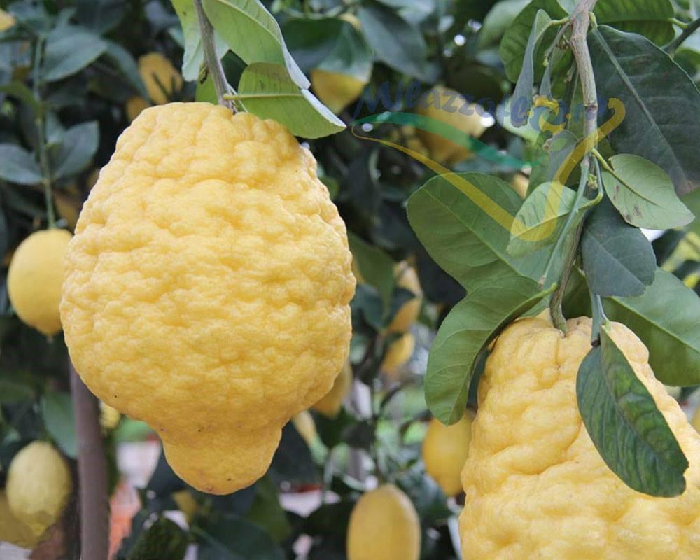 Citrus (Agrumi)