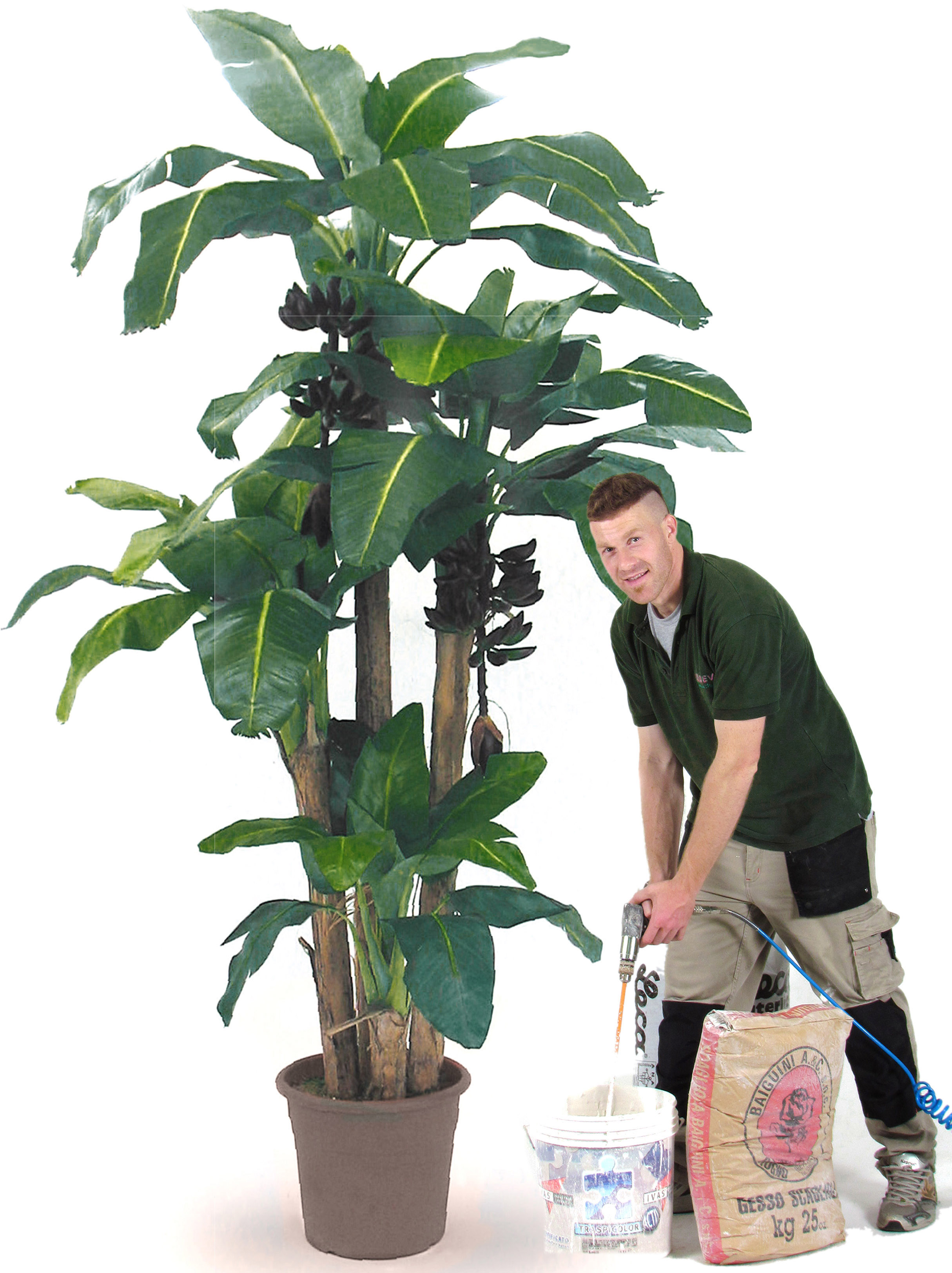 Banano Composto da 4 piante h. 80/150/230/270 cm.