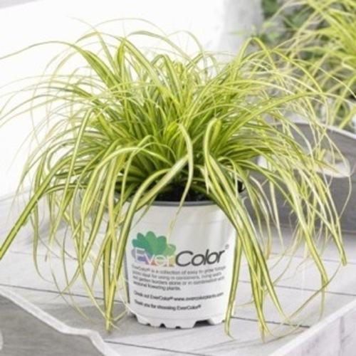 Carex oshimensis 'Eversheen' PBR