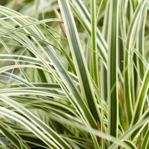 Carex oshimensis 'Evercream' ('Ficre'PBR)