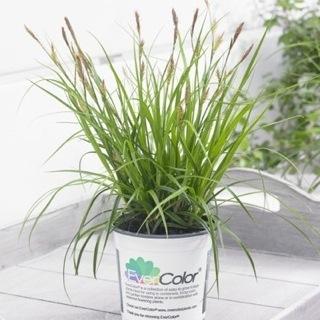 Carex oshimensis 'Everlime' PBR